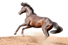 Cavallo galoppante della baia isolato su bianco Immagini Stock Libere da Diritti