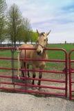 Cavallo giallo cuoio Immagini Stock Libere da Diritti