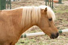 cavallo giallo sull'azienda agricola fotografie stock