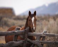 Cavallo grazioso alla rete fissa Fotografia Stock Libera da Diritti