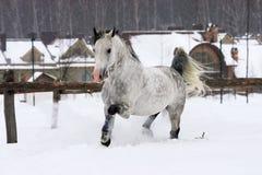 Cavallo grigio Immagine Stock