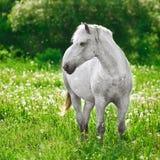 Cavallo grigio Fotografia Stock Libera da Diritti