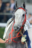 Cavallo grigio Fotografie Stock