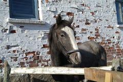 Cavallo grigio Immagini Stock