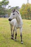 Cavallo grigio Fotografie Stock Libere da Diritti