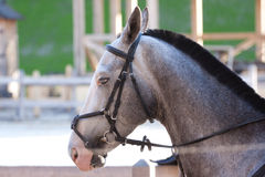 Cavallo grigio all'aperto Fotografia Stock