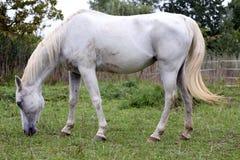 Cavallo grigio arabo del purosangue che pasce erba verde fresca Fotografia Stock Libera da Diritti