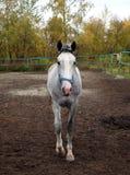 Cavallo grigio che cammina nel recinto chiuso sull'azienda agricola immagini stock