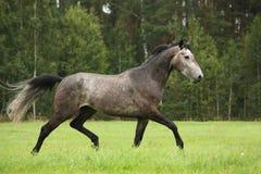 Cavallo grigio che corre liberamente al campo Fotografia Stock Libera da Diritti