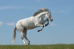 Cavallo grigio che gioca sull'erba Immagine Stock