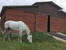 Cavallo grigio che pasce sull'erba fertile della molla davanti al granaio pittoresco Fotografia Stock Libera da Diritti
