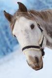 Cavallo grigio con un cablaggio capo Fotografie Stock Libere da Diritti