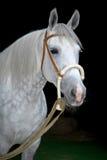Cavallo grigio dello zampone del orlov sul nero Immagine Stock