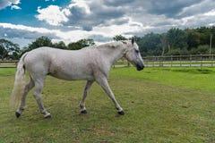Cavallo grigio Fleabitten che cammina nel campo Fotografie Stock