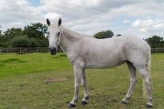 Cavallo grigio Fleabitten che esamina macchina fotografica Immagine Stock