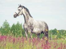 Cavallo grigio nel prato del fiore Fotografia Stock Libera da Diritti