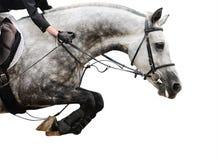 Cavallo grigio nella manifestazione di salto, su fondo bianco Immagine Stock