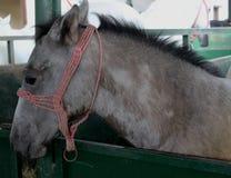 Cavallo grigio nella stalla, granaio Immagini Stock Libere da Diritti