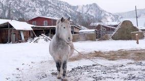 Cavallo grigio in stalla Cavallo in pascolo invernale Paesaggio rurale delle montagne di Altai stock footage