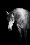 Cavallo grigio sui precedenti neri Immagini Stock Libere da Diritti