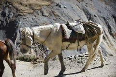Cavallo himalayano nel Nepal, con un'altezza oltre di 4000 metri Immagini Stock Libere da Diritti