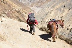 Cavallo himalayano nel Nepal, con un'altezza oltre di 4000 metri Fotografie Stock Libere da Diritti