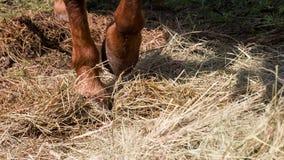 Cavallo impaziente stock footage