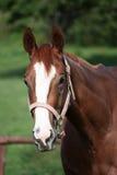 Cavallo inglese del Thoroughbred Fotografia Stock
