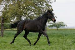 Cavallo inglese del thoroughbred Fotografia Stock Libera da Diritti