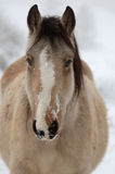 Cavallo invernale Fotografie Stock Libere da Diritti