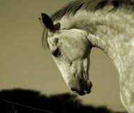 Cavallo irlandese Immagini Stock Libere da Diritti