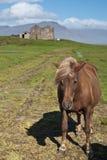 Cavallo in Islanda Immagini Stock