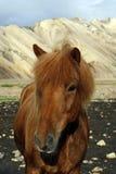 Cavallo islandese Fotografie Stock Libere da Diritti