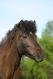 Cavallo islandese immagine stock