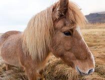 Cavallo islandese Immagine Stock Libera da Diritti