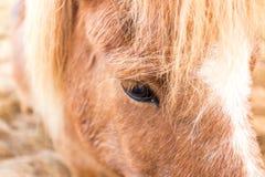 Cavallo islandese Fotografia Stock Libera da Diritti