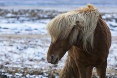Cavallo islandese arrabbiato su un prato nell'inverno fotografie stock