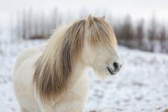 Cavallo islandese bianco con la criniera più bella come se sia stata disegnata appena fotografia stock