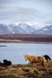 Cavallo islandese bianco diritto che affronta macchina fotografica Fotografia Stock