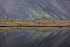 Cavallo islandese che pasce l'Islanda selvaggia fotografie stock libere da diritti