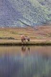 Cavallo islandese che pasce l'Islanda selvaggia immagini stock libere da diritti