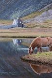 Cavallo islandese che pasce l'Islanda selvaggia immagine stock libera da diritti