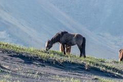 Cavallo islandese che pasce sulla sabbia nera Islanda immagine stock