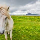 Cavallo islandese e bello paesaggio islandese, Islanda Fotografie Stock Libere da Diritti