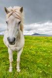Cavallo islandese e bello paesaggio islandese, Islanda Fotografia Stock