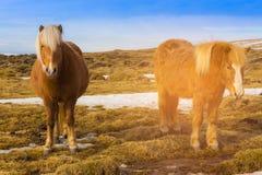 Cavallo islandese gemellato su vetro asciutto Fotografie Stock Libere da Diritti
