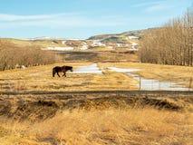 Cavallo islandese nel campo in Islanda Immagine Stock Libera da Diritti