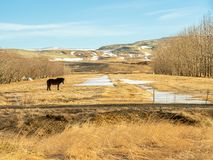 Cavallo islandese nel campo in Islanda Fotografie Stock Libere da Diritti