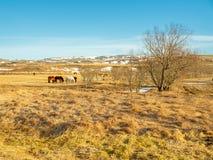Cavallo islandese nel campo in Islanda Immagine Stock