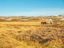 Cavallo islandese nel campo in Islanda Immagini Stock Libere da Diritti